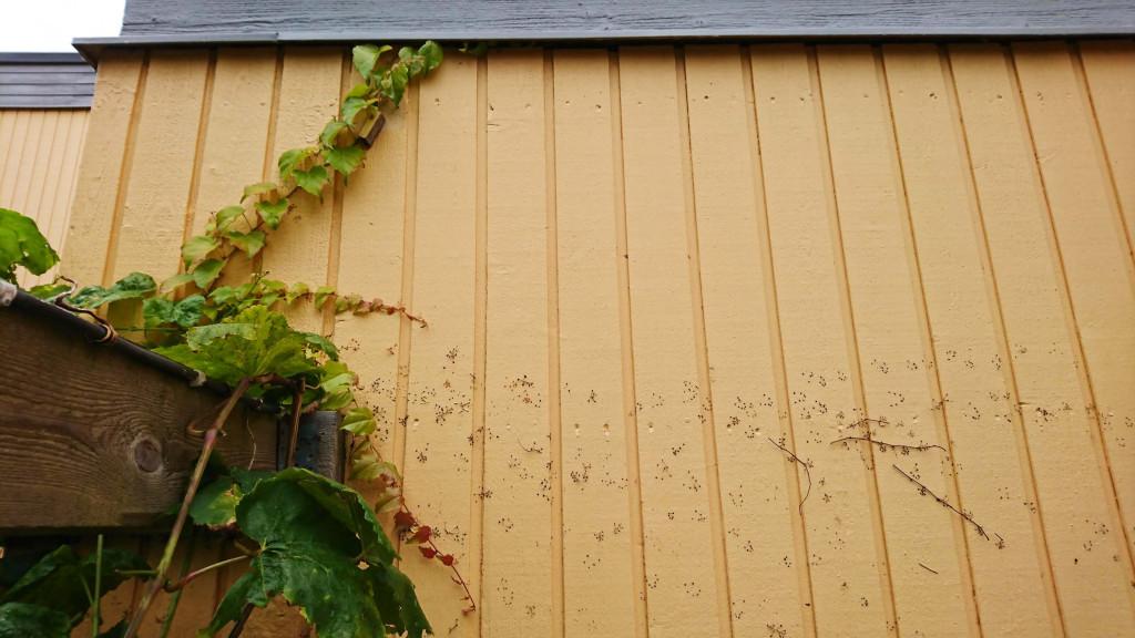 Rådhusvin klättrar på fasaden och lämnar fula spår efter sig.